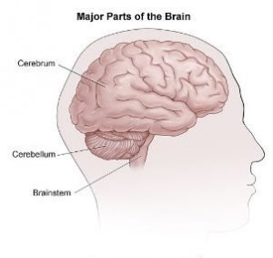 Parts of the brain and its functions